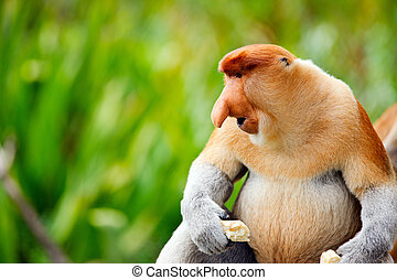 Proboscis monkey endemic of Borneo island in Malaysia