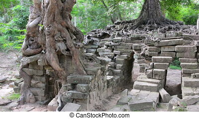 huge tropical tree growing over stones