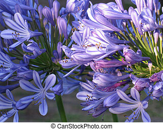 Agapanthus flowers in bloom, with sunlight