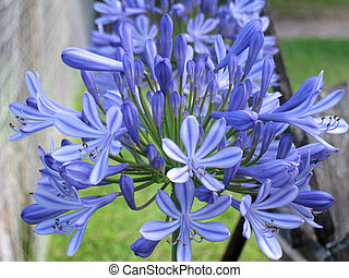 Agapanthus flowers in bloom