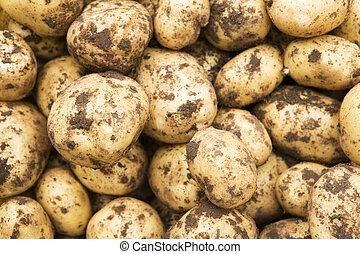 Freshly-dug new potatoes - Crop of freshly-dug new potatoes
