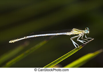 damselfly insect - Close up view detail of a beautiful...