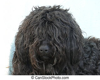 Black shaggy dog