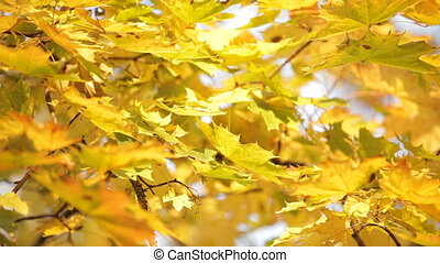 Yellowed maple tree - Close-up on branches of a yellowed...