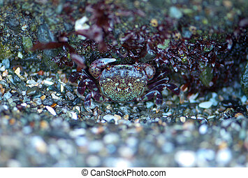 Camouflaged Crab - Beautifully colored tiny crab hides well...
