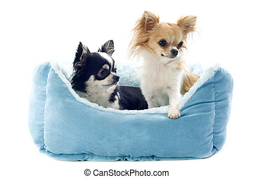 chihuahuas and dog bed - portrait of a cute purebred...