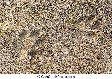 Wolf Canis lupus foot prints in soft mud - Wolf, Canis...