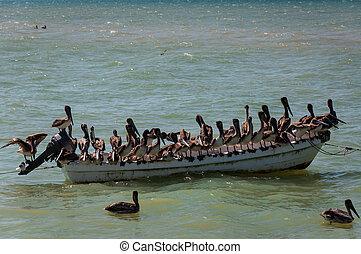 pelícanos, viejo, barco