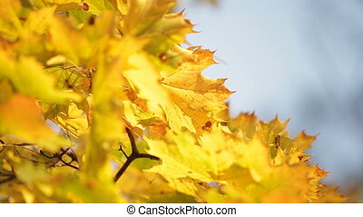Yellowed maple leafs