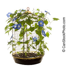Isolated Morning Glory - An isolated bird cage containing...