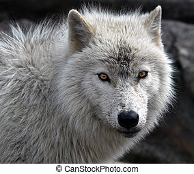 Arctic Wolf - Close-up picture of an arctic wolf
