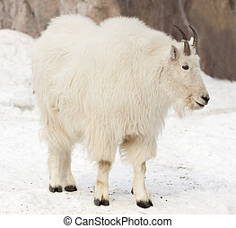 Rocky mountain goat on snow - Rocky mountain goat (Oreamnos...