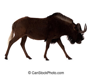 white-tailed gnu. Isolated over white - white-tailed gnu...