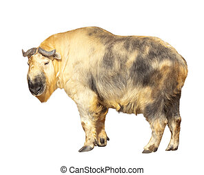 Takin. Isolated over white - Takin (Budorcas taxicolor)....