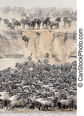 Wildebeests crossing the Mara river - Herd of Wildebeests...