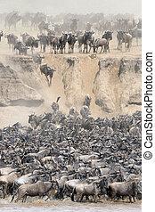 Wildebeests crossing the Mara river - Herd of Wildebeests...