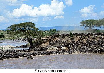 Wildebeest crossing the Mara river - Herd of Wildebeests...