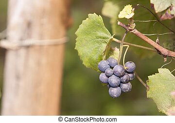 Grapes in vineyard - Bunch of ripe grapes during harvest...