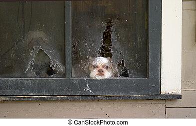 Puppy Daydreams of Escape - Shih Tzu puppy lies patiently...