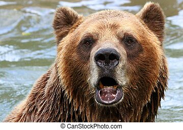 The Canadian Grizzly - Grizzly Bear