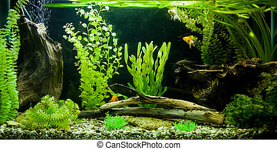 Tropical freshwater aquarium - A green beautiful planted...