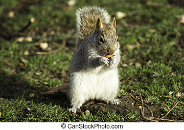 Squirrel foraging for nuts