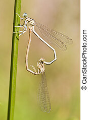 Two Blue damselfly Lestes barbarus mating - Close up view of...