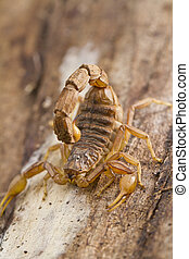 buthus scorpion - Close view detail of a buthus scorpion...