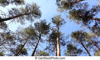 Fluctuation tops of pine trees