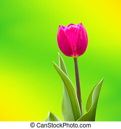 Tulip with nice background color for adv or others purpose...