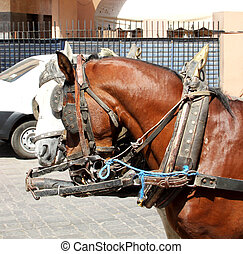 Portrait of two harnessed horses: gray nd white