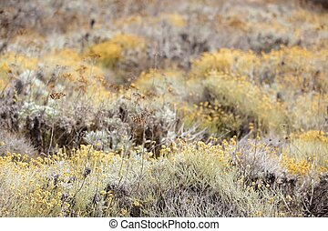 Helichrysum arenarium field - dry everlasting yellow flowers...