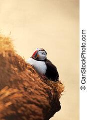 Puffin - puffin