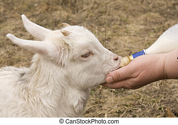 The female hand feeds a little goat - the female hand feeds...