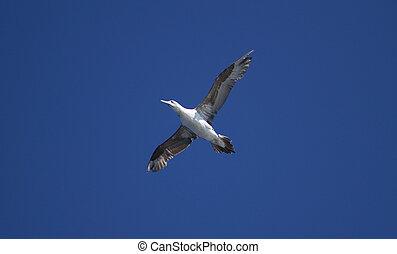 young gannet bird