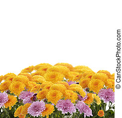 Mums Flowers On White Background