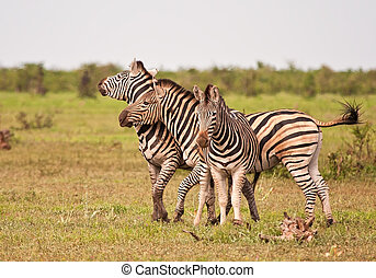 Three male zebras fighting