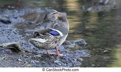 Female Mallard Duck Closeup - Female Mallard Duck Grooming...