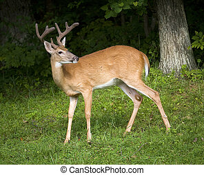 Eight pointer - Whitetail buck in the grass with his antlers...