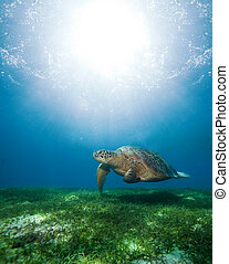 swimming sea turtle in sunlight - Huge turtle swimming...