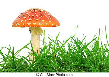 Fly agaric mushrooms - Fly agaric mushroom isolated on a...