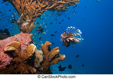 lionfish and sea cucumber under coral - wonders of sealife -...