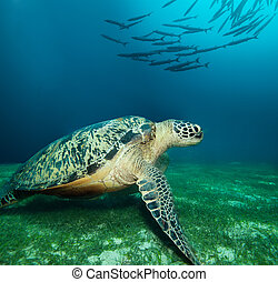 Huge sea turtle on the seaweed bottom with school of...