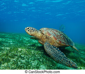 enormous sea turtle in gulf - big sea turtle on the seaweed...