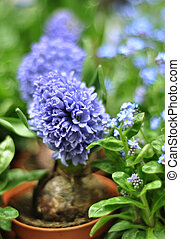 Grape hyacinth in a flower pot - Blue grape potted hyacinths...