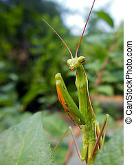 European mantis - European mantis (Mantis religiosa) on...