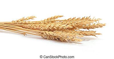 trigo, orelhas, isolado, branca, fundo