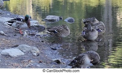 Mallard Ducks Grooming by Lake - Mallard Ducks Grooming...