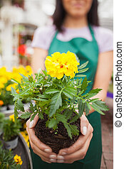 Woman showing a yellow flower in garden center - Woman who...