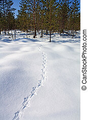 capercaillie trace on white snow